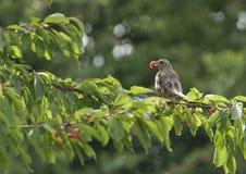 Mistle drozd (Turdus viscivorus) Fotografia Stock