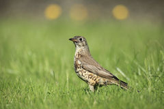 Mistle thrush. View of a thrush in profile view on grass Royalty Free Stock Photography