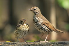 Mistle thrush Stock Image