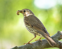 Mistle thrush Royalty Free Stock Images