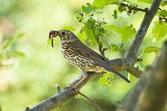 Mistle thrush Royalty Free Stock Photography