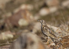 Mistle Thrush. Is looking around on a piece of rock Royalty Free Stock Image