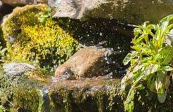 Mistle thrush bathing Stock Photo