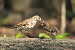 Mistle thrush feeding Royalty Free Stock Photography