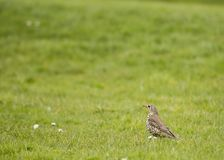 Mistle Thrush Stock Photo