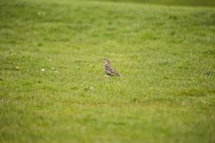Mistle Thrush Stock Photography