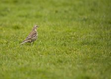Mistle Thrush Stock Images