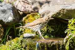 Mistle thrush having a water bath Royalty Free Stock Photo