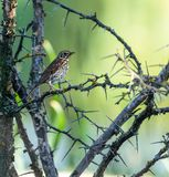 Mistle thrush. Turdus viscivorus perched on a bush with thorns Stock Photo