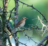 Mistle thrush. Turdus viscivorus perched on a bush with thorns Stock Photos