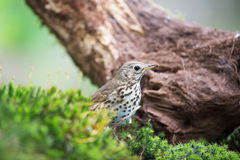 Mistle Thrush in nature Stock Photo