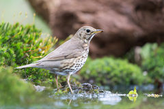 Mistle Thrush in nature Stock Image