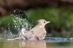 Mistle Thrush in nature water Royalty Free Stock Image