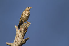 Mistle Thrush Royalty Free Stock Image