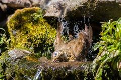 Mistle thrush splashing Royalty Free Stock Photography