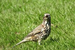 Mistle thrush Royalty Free Stock Photo