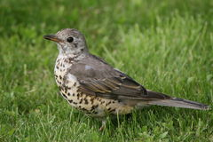 Mistle Thrush.Turdus viscivorus. A bird common in Asia, Europe and North Africa.Found in open woods, parks, hedges and cultivated land, the mistle thrush feeds royalty free stock photo