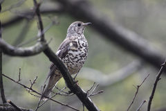 Mistle thrush, Turdus viscivorus Stock Photos