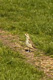 Mistle thrush Turdus viscivorus Royalty Free Stock Photography