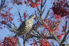 Mistle thrush, Turdus viscivorus Stock Image