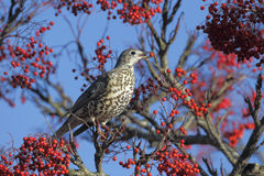 Mistle thrush, Turdus viscivorus Royalty Free Stock Photography