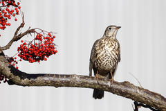Mistle thrush, Turdus viscivorus Royalty Free Stock Images