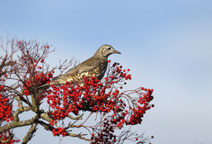 Mistle thrush, Turdus viscivorus Stock Images