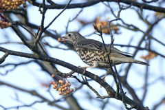 Mistle thrush, Turdus viscivorus Royalty Free Stock Photos