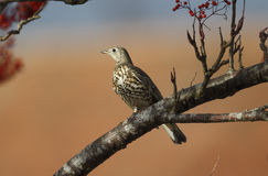Mistle thrush, Turdus viscivorus Stock Photography