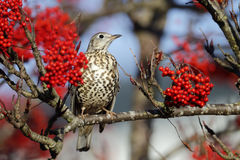 Mistle thrush, Turdus viscivorus Royalty Free Stock Photo