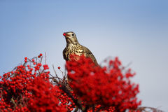 Mistle thrush, Turdus viscivorus Royalty Free Stock Image