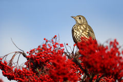 Mistle thrush, Turdus viscivorus Stock Photo