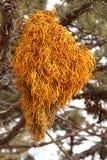 mistletoe карлика Стоковая Фотография