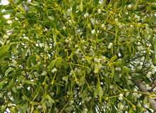 Mistletoe 01 Royalty Free Stock Photo
