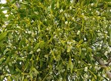 Mistletoe 01 Royalty Free Stock Photo