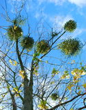 Mistletoe. On the tree taken in autumn royalty free stock images