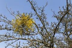 mistletoe Стоковые Фото