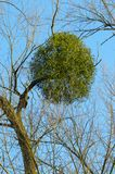 Mistletoe. A tree with mistletoe under a clear blue sky royalty free stock images