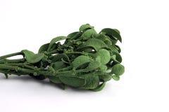 Mistletoe. A bunch of dried green mistletoe royalty free stock photography