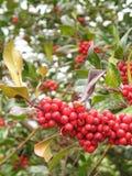 mistletoe Royaltyfria Bilder