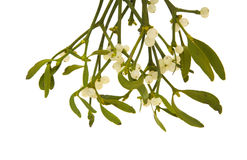 Mistletoe. Viscum album (European Mistletoe , Common Mistletoe) hanging bunch with berries, isolated on white background stock image