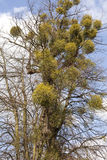 Mistletoe. Balls of mistletoe growing in a tree stock photography