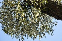 mistletoe arkivbild