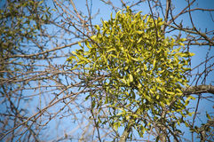 Mistletoe. Christmas mistletoe on a tree royalty free stock photo