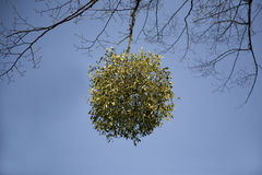 Mistletoe. Growing in a ball on the branch of a tree royalty free stock photo
