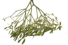 Mistletoe Stock Image