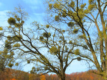 Mistletoe. Landscape with mistletoe on the tree stock images