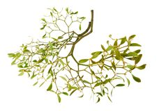 Mistletoe. Branch with berries isolated on white stock images