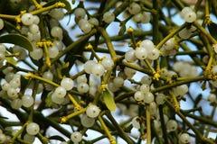 mistletoe Imagenes de archivo