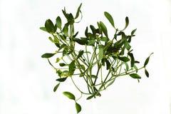 Mistletoe. Photo of mistletoe on white background royalty free stock photos